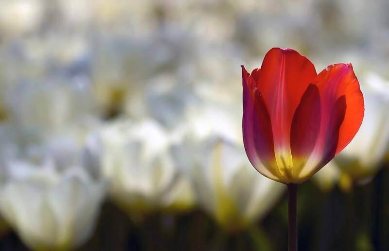 fiore-rosso yurta solange